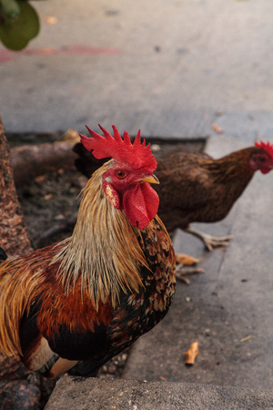 Roosters and chickens, called gypsy chickens or Cubalaya by the locals of Key West, Florida, do as they please around the town.
