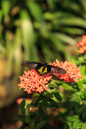 Common Birdwing butterfly Troides helena spreads its black and yellow wings on a flower in a tropical garden. Banco de Imagens