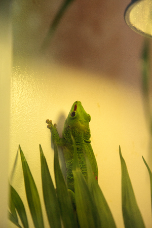 Green day gecko Phelsuma madagascariensis grandis kochi clings to the walls of its vivarium.