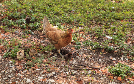 Baby chicks, called gypsy chickens or Cubalaya by the locals of Key West, Florida, do as they please around the town.