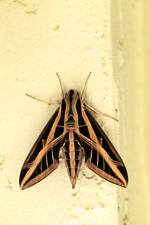 Sphinx moth Sphingidae with large wings rests in Naples, Florida.