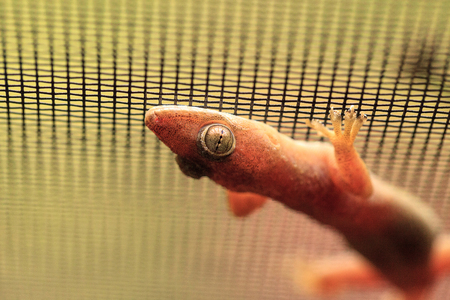 Peach colored Florida common house gecko Hemidactylus frenatus clings to a window screen in Naples, Florida