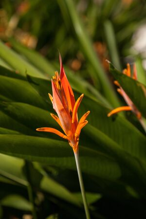 Orange Flower Heliconia Psittacorum or called Heliconia lady blooms in a tropical garden. Stockfoto