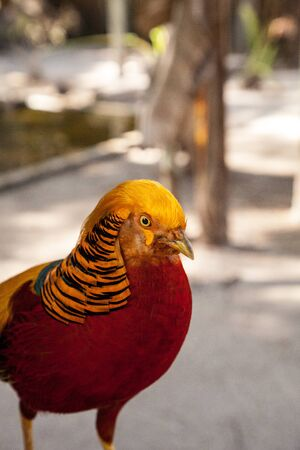 Male Golden pheasant also called the Chinese pheasant or chrysolophus pictus is known as a game bird.