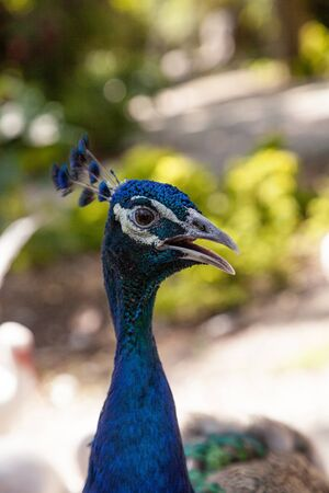 Blue and green peacock or Indian peafowl is also called Pavo cristatus in a garden in southwestern Florida.