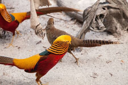 Mating display of a male Golden pheasant also called the Chinese pheasant or chrysolophus pictus is known as a game bird.