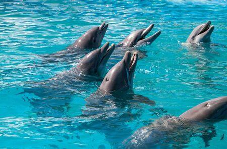 Bottlenose dolphin Tursiops truncatus swims along the shoreline of Key West, Florida in summer.