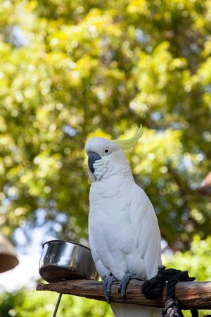 Yellow-crested cockatoo Cacatua sulphurea perches in captivity in Florida Stockfoto