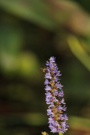 Honey bee on the purple flowers of Pickerel Weed Pontederia cordata grow in a swamp of Corkscrew Sanctuary Swamp in Naples, Florida Banque d'images - 114714692