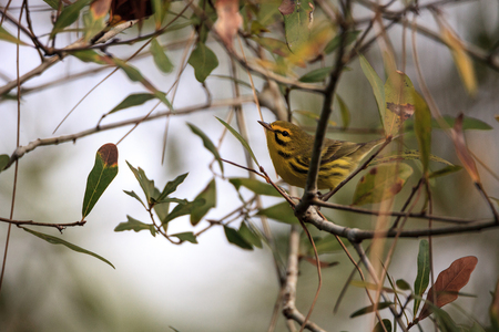 Yellow Prairie warbler Setophaga discolor in a tree in the swamp of Corkscrew Sanctuary Swamp in Naples, Florida Reklamní fotografie