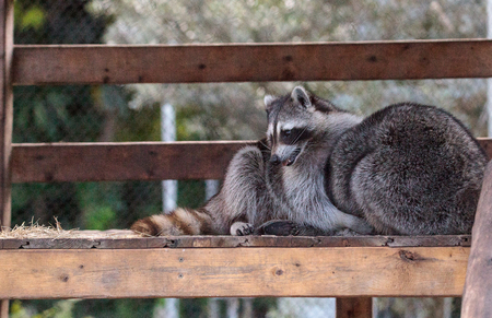 Playing raccoon Procyon lotor pair on a porch in Southern Florida