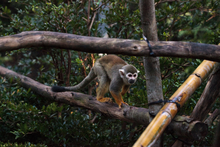 Common squirrel monkey Saimiri sciureus is found in the Amazon jungle. Stock Photo