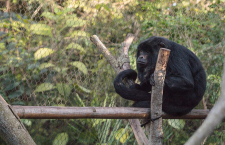 Black and gold howler monkey Alouatta caraya found in Bolivia, Brazil and Paraguay. Stock Photo