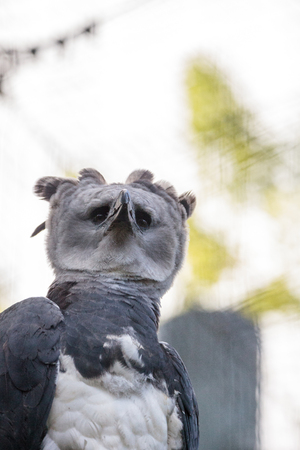 Harpy eagle Harpia harpyja raptor perched on a branch. This large bird of prey is on the threatened species list.