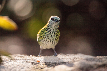 Spotted tanager bird Tangara punctate is a neotropical bird that has yellow and green in its feather. Stock Photo