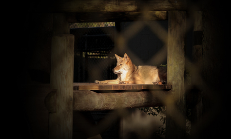 Coyote Canis latrans sits in a wooden shelter in Southern Florida 免版税图像