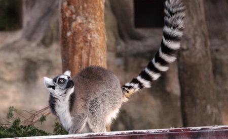 Ring tailed lemur Lemur catta is a threatened species found in Madagascar Reklamní fotografie