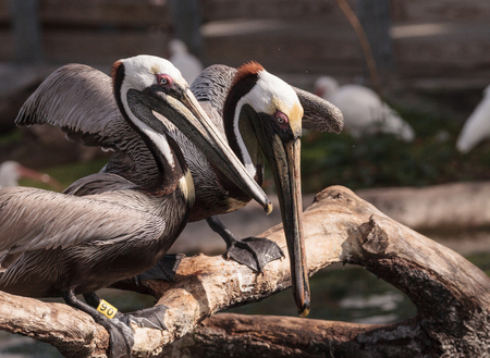 Courting brown pelican Pelecanus occidentalis in a pond in Southern Florida. Stock Photo