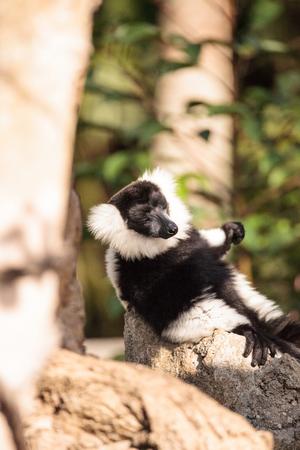 Black and white ruffed lemur Varecia variegate found in Madagascar.