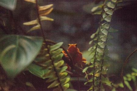 Panamanian Golden Frog Atelopus zeteki is rare and endemic to Panama.