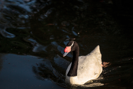 Black-necked swan Cygnus melancoryphus swims in a pond in South America.