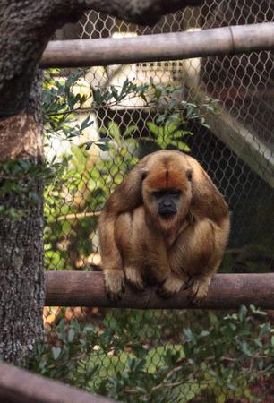 Black and gold howler monkey Alouatta caraya found in Bolivia, Brazil and Paraguay. Reklamní fotografie
