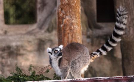 Ring tailed lemur Lemur catta is a threatened species found in Madagascar Фото со стока