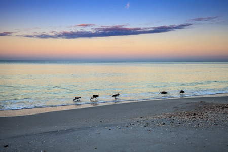 Juvenile White ibis birds Eudocimus albus forage for food at sunrise over North Gulf Shore Beach along the coastline of Naples, Florida