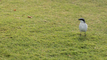 Loggerhead shrike bird Lanius ludovicianus perches the grass in Fort Myers, Florida Stock Photo