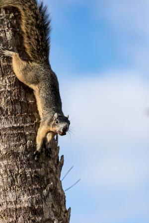 Alert big cypress fox squirrel Sciurus niger avicennia gathers nuts on a tree branch in summer in Naples, Florida Stock Photo