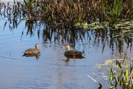 Mottled duck Anas fulvigula swim in a marsh in Naples, Florida Stock Photo
