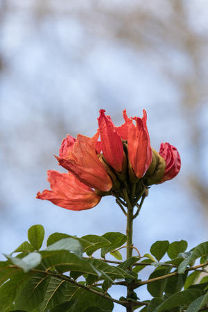 Orange red flowers on an African tulip tree Spathodea campanulata  in Naples, Florida as it blooms in the fall.