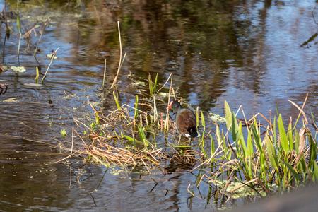 Common gallinule waterfowl Gallinula galeata swim in a marsh in Naples, Florida