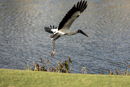 Wood stork Mycteria Americana stands on a golf course in Naples, Florida