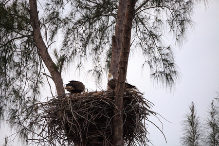 Nesting Adult bald eagle Haliaeetus leucocephalus nests on Marco Island, Florida in the winter. Stock Photo