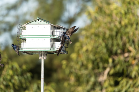 Purple martin birds Progne subis fly and perch on a house over a pond in Fort Myers, Florida Stockfoto