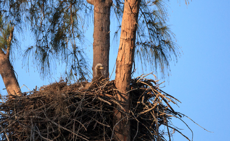 Bald eaglet Haliaeetus leucocephalus in a nest on Marco Island, Florida in the winter.