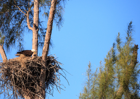 Bald eagle Haliaeetus leucocephalus feeds the eaglets in their nest of chicks on Marco Island, Florida in the winter. Stock Photo