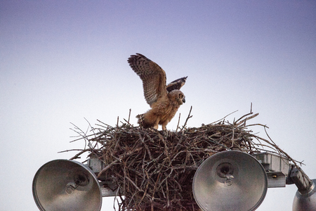 Baby great horned owlet Bubo virginianus practices flying by holding onto something in its nest on top of a light post in Everglades City, Florida, USA and flapping its wings.