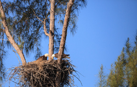 Family of two bald eagle Haliaeetus leucocephalus parents with their nest of chicks on Marco Island, Florida in the winter.