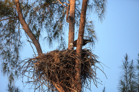 Bald eagle Haliaeetus leucocephalus feeds the eaglets in their nest of chicks on Marco Island, Florida in the winter. Stock fotó