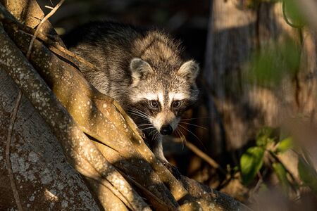 Young chubby raccoon Procyon lotor hunts for food in the forest of Naples, Florida. Stockfoto