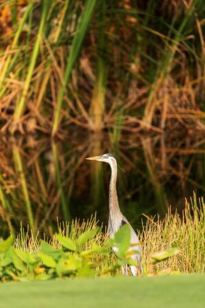Great blue heron bird, Ardea herodias, in the wild, foraging in a marsh at the Fred C. Babcock and Cecil M. Webb Wildlife Management Area in Punta Gorda, Florida 스톡 콘텐츠