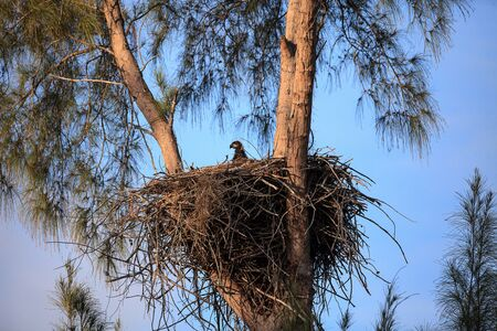 Baby bald eaglet Haliaeetus leucocephalus in a nest on Marco Island, Florida in the winter.