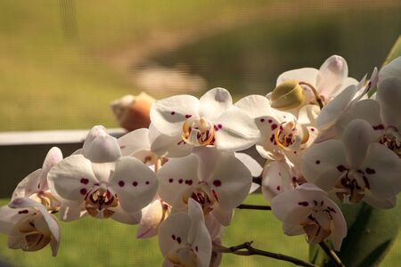 Cluster of White Phalaenopsis schilleriana Orchid in a Naples, Florida garden.