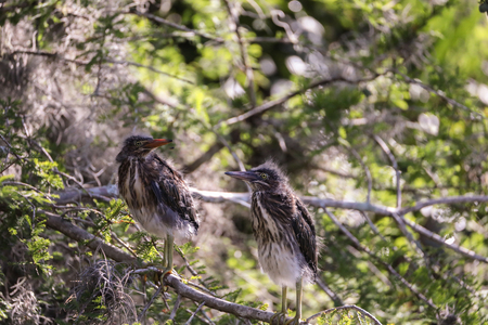 Nest of baby green heron Butorides virescens  wading birds in a bush in a swamp in Naples, Florida