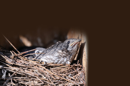 Baby nestling Eastern bluebird Sialia sialis hatchlings in a nest in Naples, Florida Stock Photo