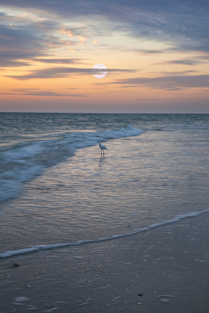Great white egret gracefully wades through the water on Naples Beach at Sunrise as the full moon sets in Naples, Florida