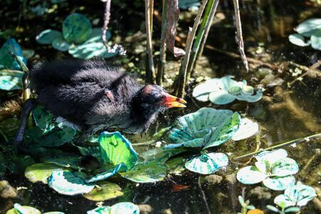 Scruffy Baby common gallinule Gallinula chloropus chick searches for food in a marsh in Naples, Florida Stock Photo