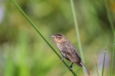 Brown Female red-wing blackbird Agelaius phoeniceus perches on the tall reeds and grass in a pond in Naples, Florida.